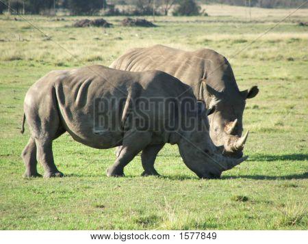 Mr And Mrs Rhino