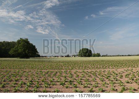 Growing Tobacco / Field road among wheat fields