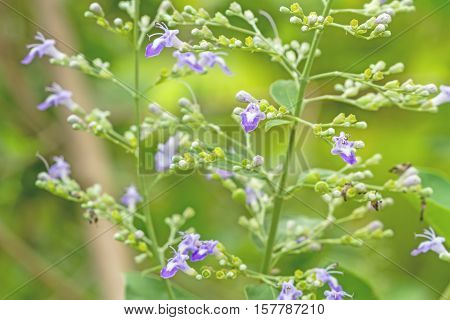 Close up white flower Vitex trifolia Linn or Indian Privet is herb in Thailand