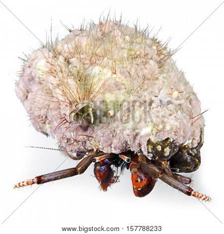 Hermit crab, Clibanarius erythropus, Kemer, Antalya Region, Mediterranean Sea, Turkey, isolated on white background.