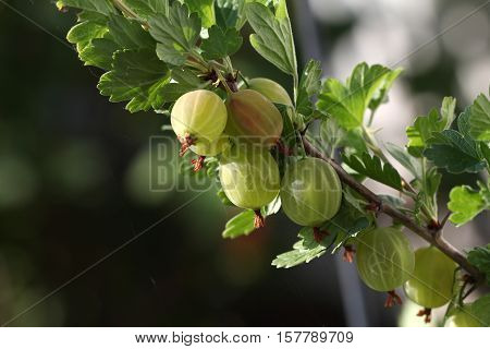 Gooseberry / Gooseberry Berries are ripening on the bush