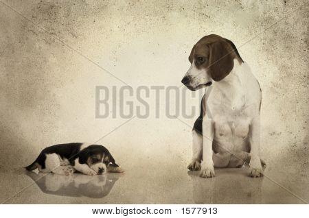 Beagle Mom