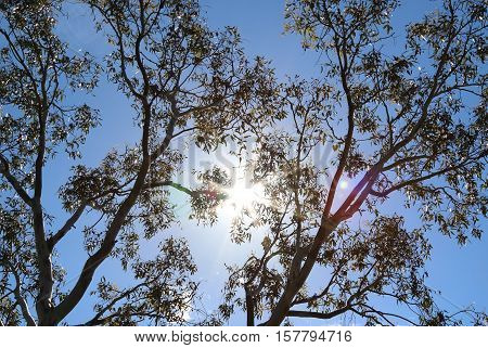 Eucalyptus gum tree leaves against blue sky background