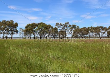 Spring in western Victoria natural bushland reserve with wild grasses and trees