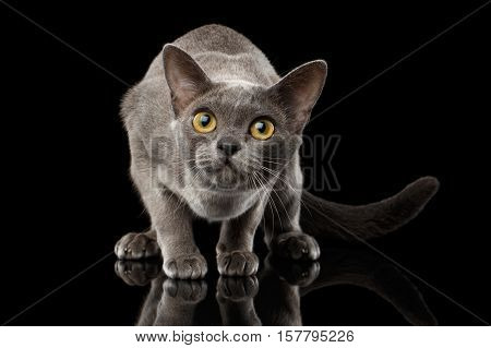 Blue Burmese Kitten, crouching and Looking up Curious on Isolated black background with reflection