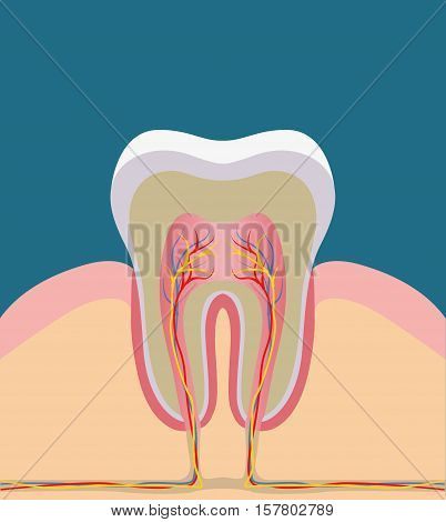 Tooth gums and bone illustration detailed anatomy. Vector illustration