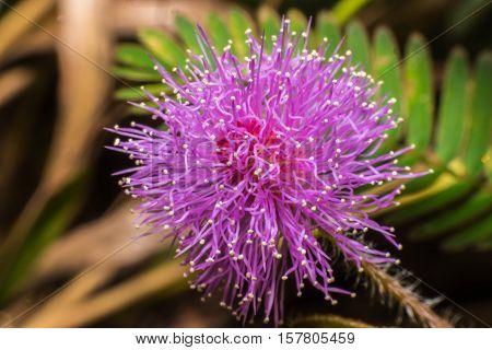 Close up Mimosa pudica L. hispida brenan,sensitive plant flowers