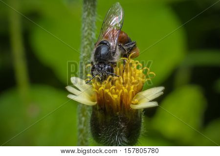 Honey Bees Pollinating Clover on yellow flower Macro view