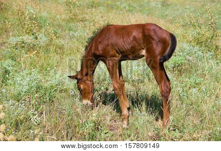 First tasting of herbs - newborn foal on a summer pasture.