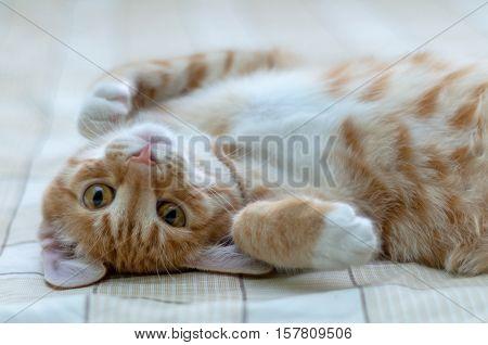 полосатый рыжий кот