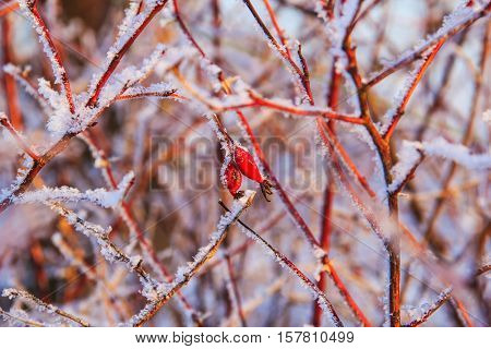 Red berries of a dogrose on snow-covered branches at winter day