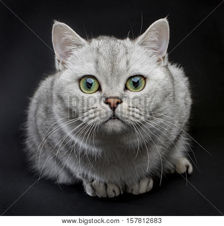 Cat with green eyes. Beautiful Gray British shorthair cat with yellow eyes on a black background.