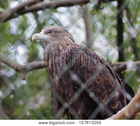 Golden eagle bird close up animal portrait photo