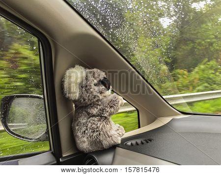 Cute wild Koala Bear doll sitting inside moving car near wing mirror with blurred rain drops outside