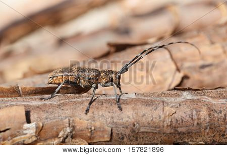 Profile Of Beetle With Long Antennae