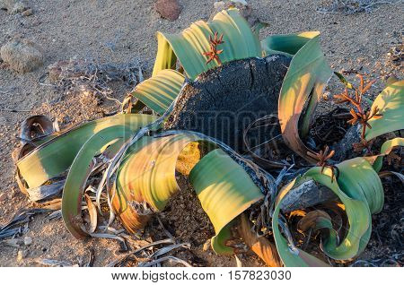 Welwitschia Mirabilis plant growing in the hot arid Namib Desert of Angola and Namibia. These living fossils grown very slowly, are endemic to the Namib Desert and can live for more than a thousand years.