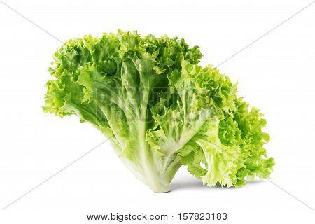 Green oak lettuce on white background. allotment, color, iceberg