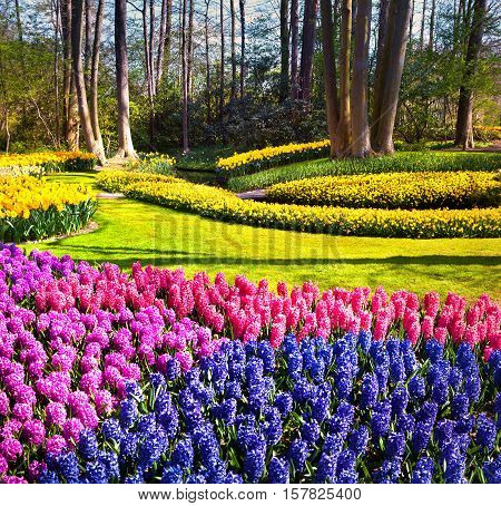 Marvellous Hyacinth Flowers In The Keukenhof Gardens.