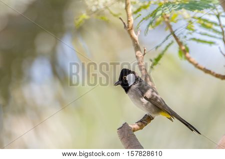 A White-eared Bulbul or Pycnonotus Leucotis perched on a tree branch in a garden in Bahrain