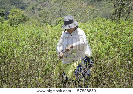 Worker pulls ripe coca leaves off a tree during a harvest on the hills of Sud Yungas, Bolivia. October 13, 2012 - Chulumani, Bolivia
