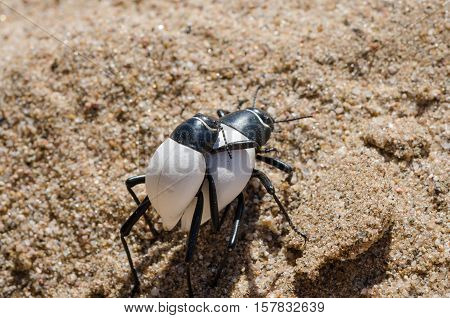 Two black and white bugs carrying each other piggyback over hot sand of Namib Desert in Angola. This behaviour and their white color shows an amazing adaptation to this hot and arid environment.