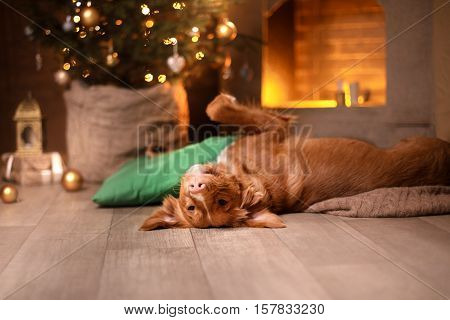 Happy New Year, Christmas, Dog Nova Scotia Duck Tolling Retriever, Holidays And Celebration