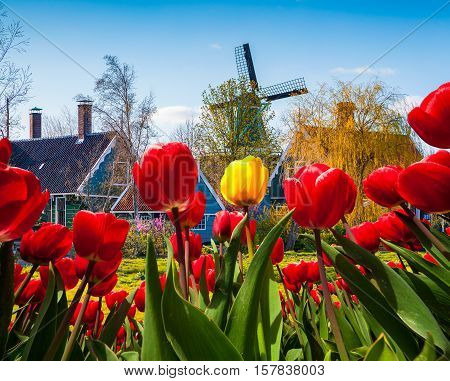 The Famous Dutch Windmills And Authentic Holland Buildings.