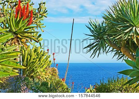 The bright blue waters of Mediterranean sea through the succulents of Jardin Exotique boatanical garden with the tall stem of agave in the middle Monaco.