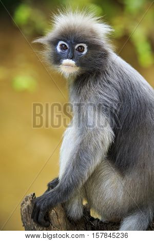 close up face of dusky leaves monkey in wild