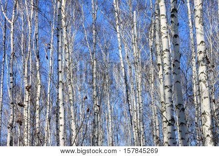 Beautiful landscape with white birches against blue sky. Birch trees in bright sunshine. Birch grove in autumn.