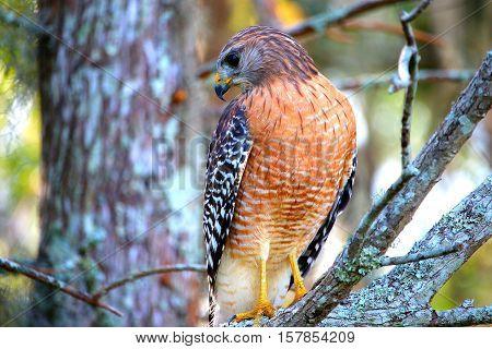 Hawk up close turning head at an angle