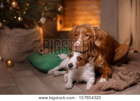 Dog Jack Russell Terrier And Dog Nova Scotia Duck Tolling Retriever . Happy New Year, Christmas, Pet