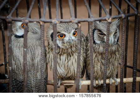 Three cute owls sitting in metall cage to be sold at voodoo fetish market in Benin, West Africa.