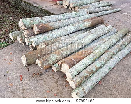 Logs of Para rubber tree on the cement ground