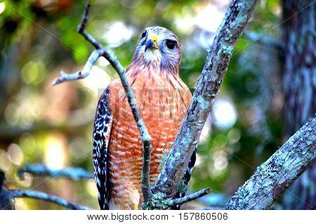 Hawk saying