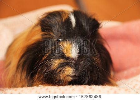 portrait of a cute black and ginger guinea pig with long hair relaxing on the pink blanket