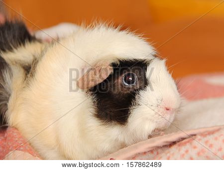 Portrait of cute black, white and beige guinea pig lying on the pink blanket