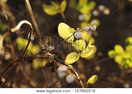 some white snowberries on the twig and leaves enlightened with the sun in autumn