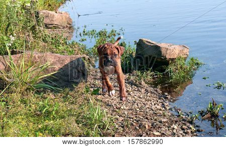 dog breed deutsch boxer, male, boy, age of a few months, very cute puppy, glistens in the sun, the white fur on his neck, long ears and tail, brown, runs along the bank of the river on the rocks next to the lake water