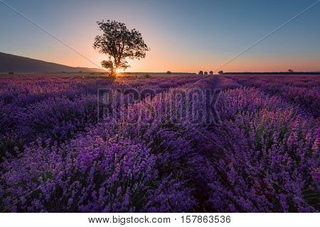 Lonely tree in lavender field at sunrise near the town of Kazanlak, Bulgaria