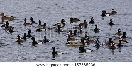 Beautiful Isolated Image Of A Swarm Of Ducks In The Lake