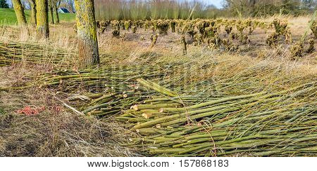 Bundled willow branches in the foreground and in the background the pollarded willows in a Dutch nature reserve.