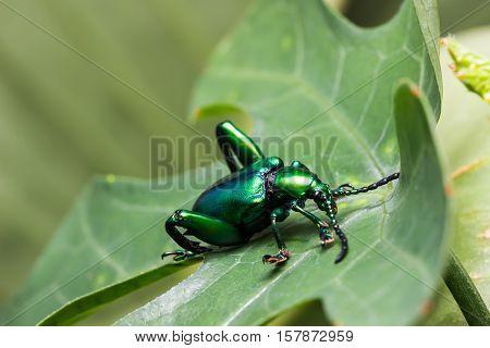 Frog Legged Leaf Beetle (sagra Buqueti)