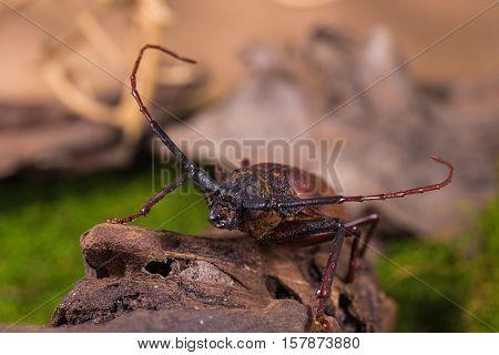 Longhorn Beetle (rhaphipodus Fetalis), Beetle