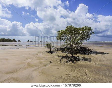 Morro de São Paulo laidback beach with a lonely mangrove tree.