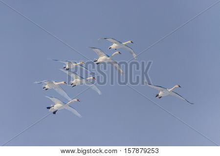 Whooper Swan (Cygnus cygnus) in flight. Location: Comana Natural Park Romania.