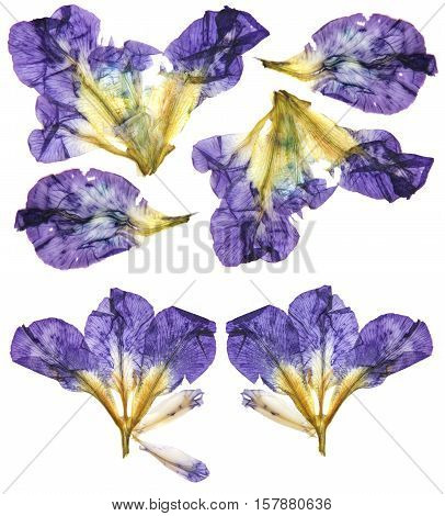 Application Of  Pressed Multicolored Iris