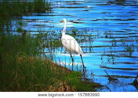 Bird in the lagoon walking in water