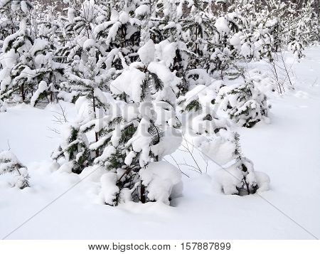 Snow on the branches of the pine trees