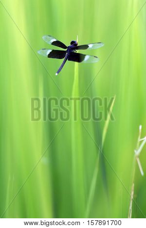 Dark blue dragonfly in the grass of a ricefield